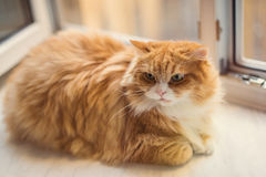Fat ginger cat Royalty Free Stock Images