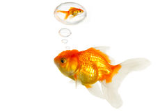 Fat goldfish remember the past Stock Photo