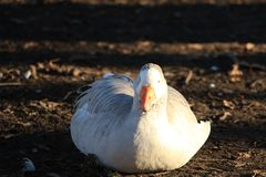 Fat goose on the farm royalty free stock photography