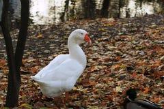 Fat goose on the farm stock photo