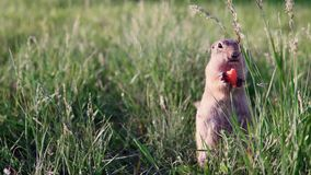 Fat gopher or ground squirrel sits in the grass and nibbles or eats a carrot. Puffy funny gopher or ground squirrel sits in the green field with unfocused stock footage