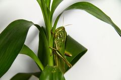 Fat grasshopper Stock Photo