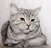 Fat gray cat. Gray cat with yellow eyes Stock Image