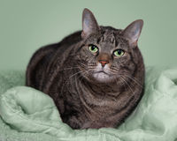Fat gray tabby on green blanket Royalty Free Stock Photo