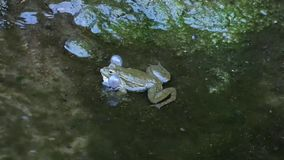 Fat green frog sitting in water and croaks stock video
