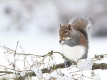 Fat Grey Squirrel Eating Peanut on Snowy branch