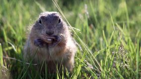 Fat ground squirrel sits in the grass and nibbles or eats a peanut. Copy space. Fat gopher or ground squirrel sits in the grass unfocused backdrop and nibbles or stock footage