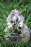 Fat Groundhog 2. A large groundhog sitting up while eating Royalty Free Stock Images