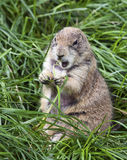 Fat Groundhog Stock Image
