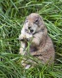 Fat Groundhog. A large groundhog sitting up while eating stock image