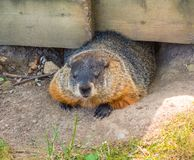A fat groundhog crawling under a fence at a campground in ontario. Bold wildlife scrounging for food from tourists as seen while camping in canada in the stock image