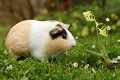 Fat guinea pig Stock Images
