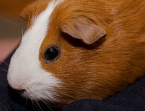 The fat guinea pig Royalty Free Stock Image