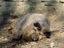 Fat hairy pig Royalty Free Stock Photos