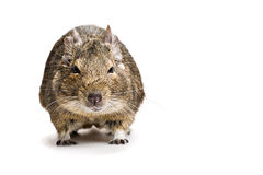 Fat hamster front view isolated on white Royalty Free Stock Image