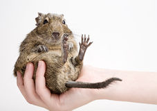 Fat hamster Stock Photo