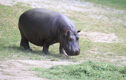 Fat and heavy hippo while eating the grass. Huge hippo with shiny skin and small ears while eating the grass Royalty Free Stock Photos