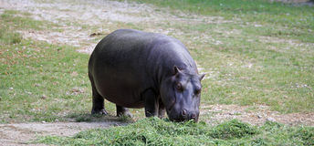Fat and heavy hippo with shiny skin and small ears Stock Photography