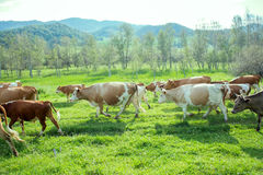 Fat herd of cows in a mountainous area is on green grass. Cattle from dairy region Royalty Free Stock Photo