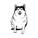 Fat husky puppy Royalty Free Stock Photography