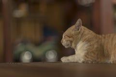 Fat kitty cat sleep on the floor. Stock Photos