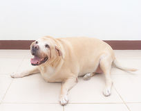 Fat labrador dog on the floor Royalty Free Stock Photo
