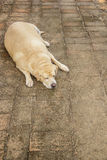 Fat labrador retriever sleep on the floor, Dog fat. Fat labrador retriever sleep on the Brick floor, Dog fat royalty free stock image