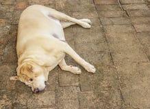 Fat labrador retriever sleep on the floor, Dog fat. Fat labrador retriever sleep on the Brick floor , Dog fat royalty free stock photo