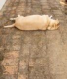 Fat labrador retriever sleep, Dog fat. Fat labrador retriever sleep on the floor, Dog fat stock photos