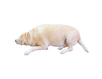 Fat Labrador Retriever, 8 years old, sleep on white background, Stock Photo