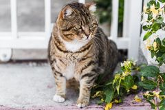 Fat lazy cat Stock Image