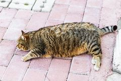 Fat lazy cat Royalty Free Stock Image