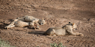 Fat lazy lions Stock Image