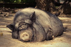 Fat lazy pig Royalty Free Stock Image