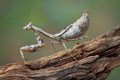 Fat mantis Stock Image