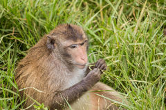Fat monkey eating grass Royalty Free Stock Photography
