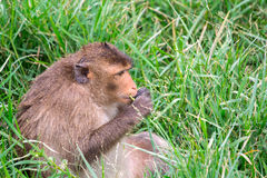 Fat monkey eating grass Royalty Free Stock Image