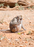 Fat monkey. Royalty Free Stock Images
