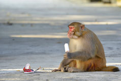 A Fat Monkey Esting Ice Cream. A clever and fat monkey is sitting on the floor and  eating an ice cream which was robbed  from a tourist Stock Image