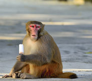 A Fat Monkey Esting Ice Cream Royalty Free Stock Photography