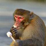 A Fat Monkey Esting Ice Cream. A clever and fat monkey is sitting on the floor and  eating an ice cream which was robbed  from a tourist Stock Photos