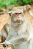 Fat monkey Stock Images
