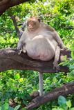 Fat monkey sleeping Royalty Free Stock Images