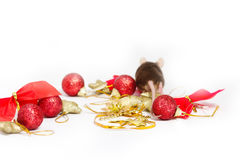 Fat mouse runs away from the red and gold Christmas decorations. Stock Photo