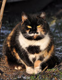 Fat multicolor cat Royalty Free Stock Photography