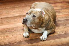 Fat old dog lying on the floor. Fat old dog lies on a wooden floor royalty free stock images