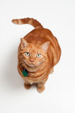 Fat Orange Tabby Cat Sitting and Looking Up. An overweight orange tabby cat sitting and looking up. Shot in the studio on a white backdrop Royalty Free Stock Image