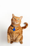 Fat Orange Tabby Cat Standing and Begging. An overweight orange tabby cat wearing a collar and tags, stands up and begs. Shot in the studio on a white backdrop Stock Photography