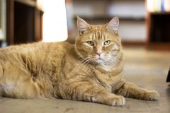 A Fat Orange Tabby Cat Relaxing royalty free stock image
