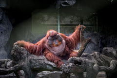 Fat orangutan. Royalty Free Stock Photo